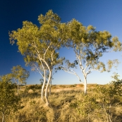 Ghost gums at the Devil\'s Marbles