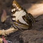 A huge butterfly at Leliyn's upper falls