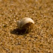 A hermit crab on the beach at Mandorah