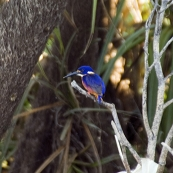 An Azure Kingfisher at Yellow Waters