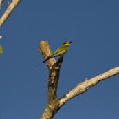 A Rainbow Bee-Eater at Yellow Waters
