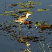 A juvenile Jacana at Yellow Waters