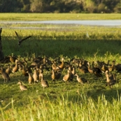 Whistling Ducks at Yellow Waters