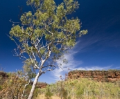 A snappy gum and the escarpment along Joe's Creek Walk in Gregory National Park