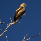 An eagle at our campsite at Big Horse Creek in Gregory National Park