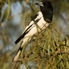 A magpie at our campsite at Big Horse Creek in Gregory National Park