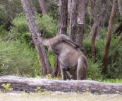 A big male kangaroo stretching at Conto Campground