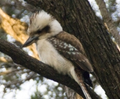 A kookaburra at Conto campground