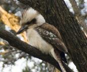 A kookaburra at Conto campground