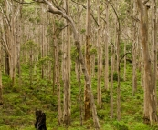 The Boranup Karri Forest