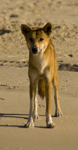 A lone Dingo on the beach near Waddy Point