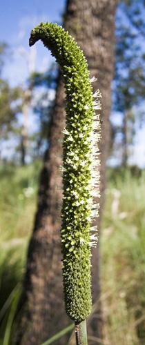 Native plants in bloom near Wallaman Falls