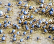 Thousands of tiny crabs on the beach at Inskip