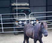 Branell Homestead: The Tank with Angel the miniature pony