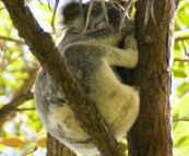 A sleepy koala in Noosa National Park