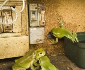 Green Tree Frogs in the electrical box!