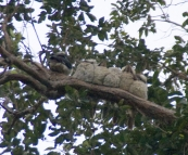 Six Kookaburras huddled up for the night above our campsite