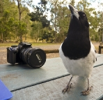 Lunch at Cania Gorge with the Pied Butcherbirds
