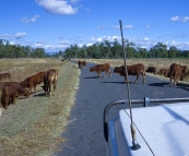 Cattle crossing on one of the station\'s leading into Carnarvon Gorge