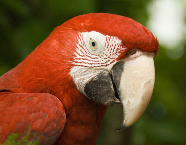 The Singapore Zoo: Scarlet Macaw