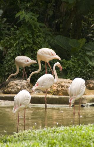 The Singapore Zoo: Flamingos