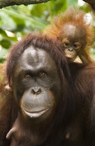 The Singapore Zoo: Orangutan mother and baby