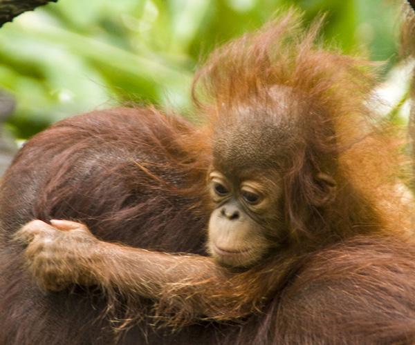 The Singapore Zoo: Orangutan baby