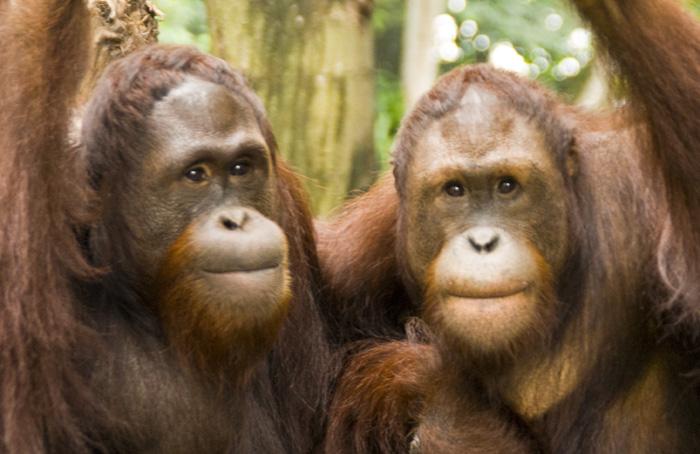 The Singapore Zoo: Orangutans