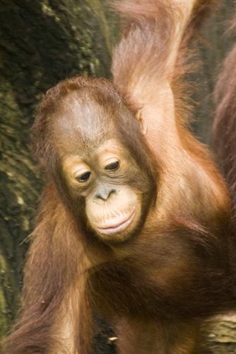 The Singapore Zoo: Orangutan