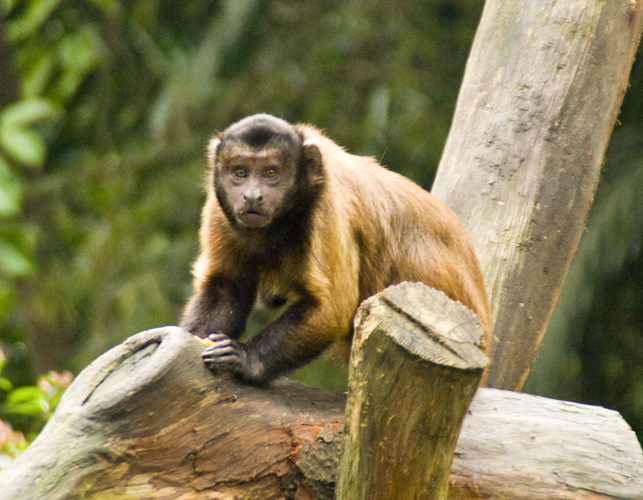 The Singapore Zoo: Capuchin Monkey