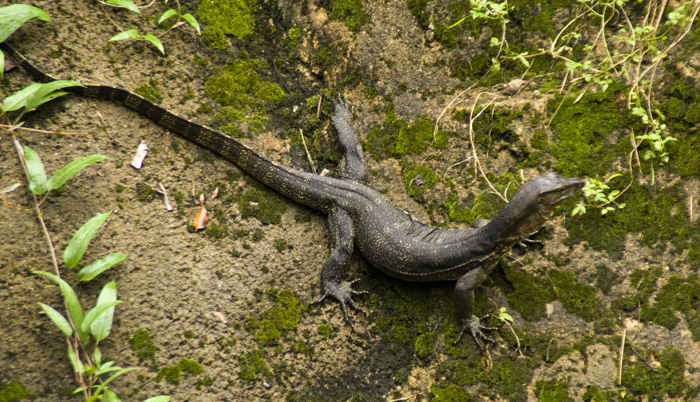 The Singapore Zoo: a native Singaporean water monitor found its way into one of the monkey exhibits