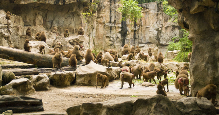 The Singapore Zoo: Hamadryas Baboons