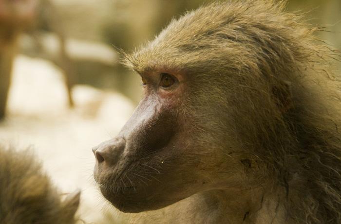 The Singapore Zoo: Hamadryas Baboon