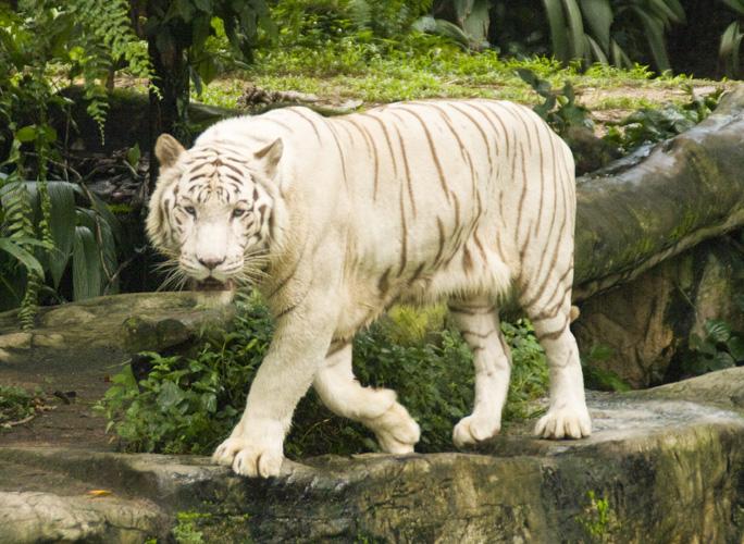 The Singapore Zoo: White Tiger