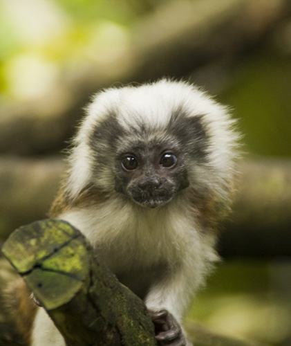 The Singapore Zoo: one of the free-ranging Cottontop Tamarins