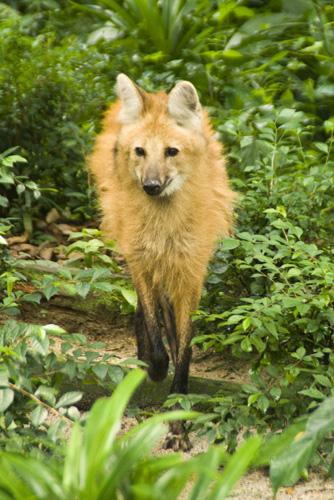 The Singapore Zoo: Maned Wolf