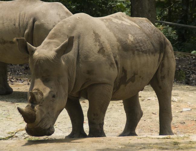 The Singapore Zoo: White Rhino