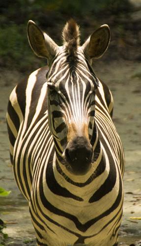 The Singapore Zoo: Zebra