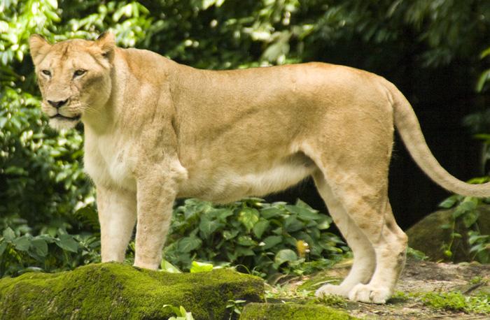 The Singapore Zoo: Lion