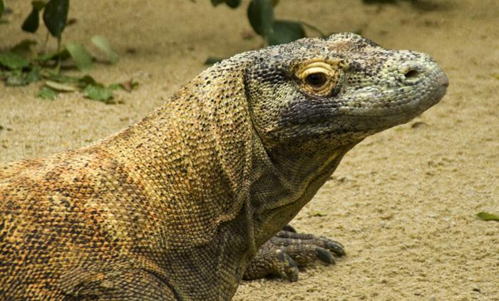 The Singapore Zoo: Komodo Dragon