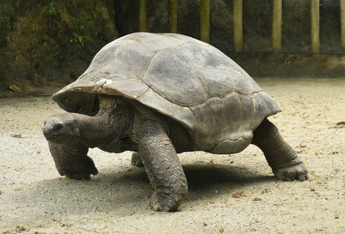 The Singapore Zoo: Giant Tortoise