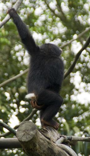 The Singapore Zoo: Chimpanzee