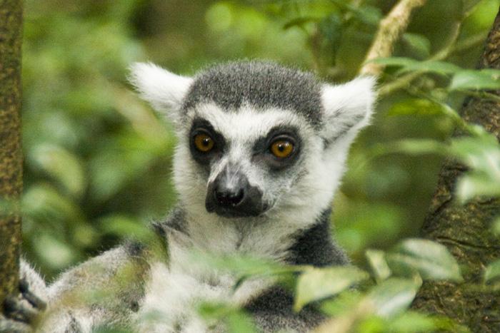The Singapore Zoo: Lemur