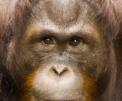 The Singapore Zoo: Orangutan