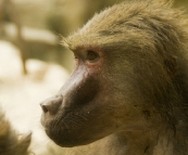 The Singapore Zoo: Hamadryas Baboon