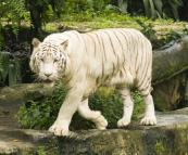 The Singapore Zoo: White Tiger