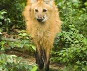 The Singapore Zoo: Maned Wolf