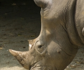 The Singapore Zoo: White Rhino