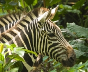 The Singapore Zoo: Zebra