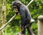 The Singapore Zoo: Chimpanzee